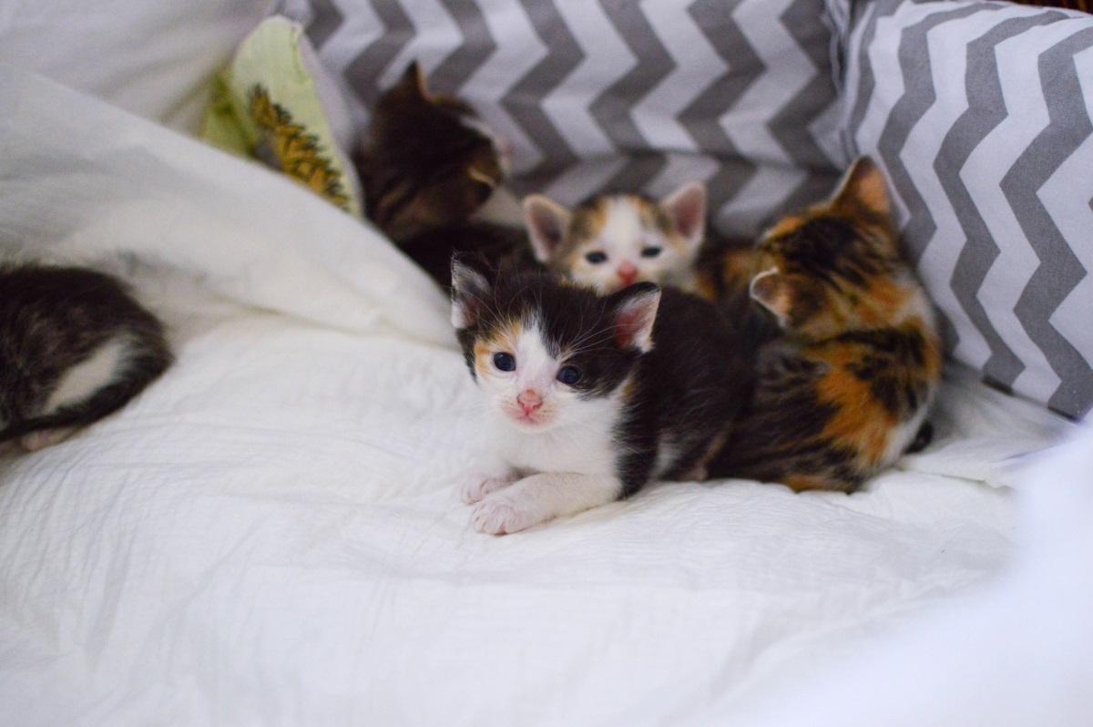 Sněhulka a koťátka (kočka)